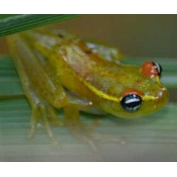 Boophis rappioides