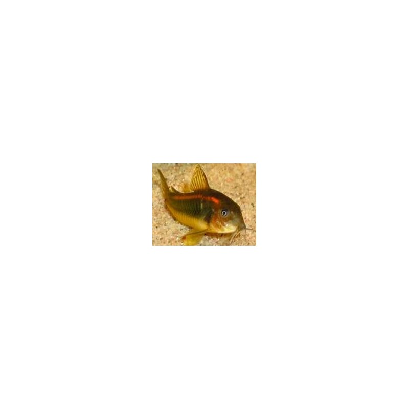 CORYDORAS AENEUS CW023 RED STRIPE