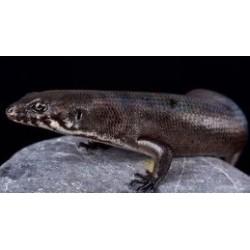 Eugongylus mentovarius