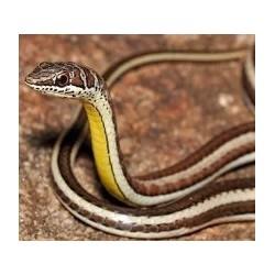 Psammophis elegans