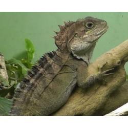 Hypsilurus nigrigularis/magnus