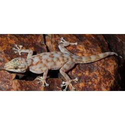 Ptyodactylus ragazzi