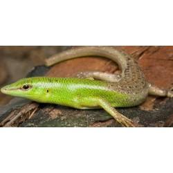 Lamprolepis smaragdina