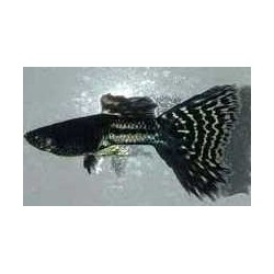 GUPPY  METAL  BLACK LACE