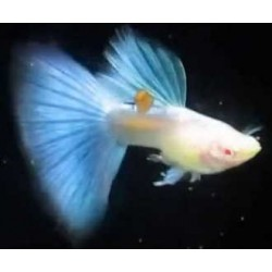GUPPY SKY BLUE ALBINO