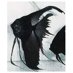 PTEROPHYLLUM SCALARE BLACK L. FIN 3-3,5