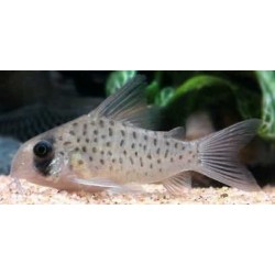 CORYDORAS ATROPERSONATUS w/i