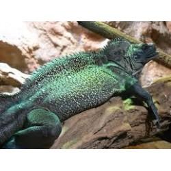 Hydrosaurus weberi