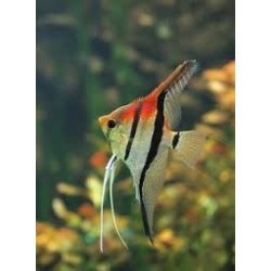 PTEROPHYLLUM AMAPA RED BACK