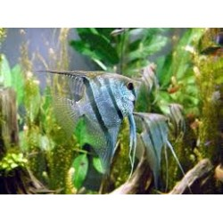 PTEROPHYLLUM SCALARE AMAZON