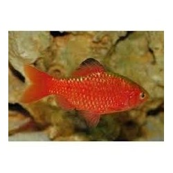 PUNTIUS CONCHONIUS SUPER RED