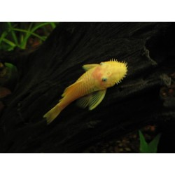ANCISTRUS LEMON/ORANGE L 144 (black eye)
