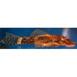 ANCISTRUS RED/BROWN LDA 16